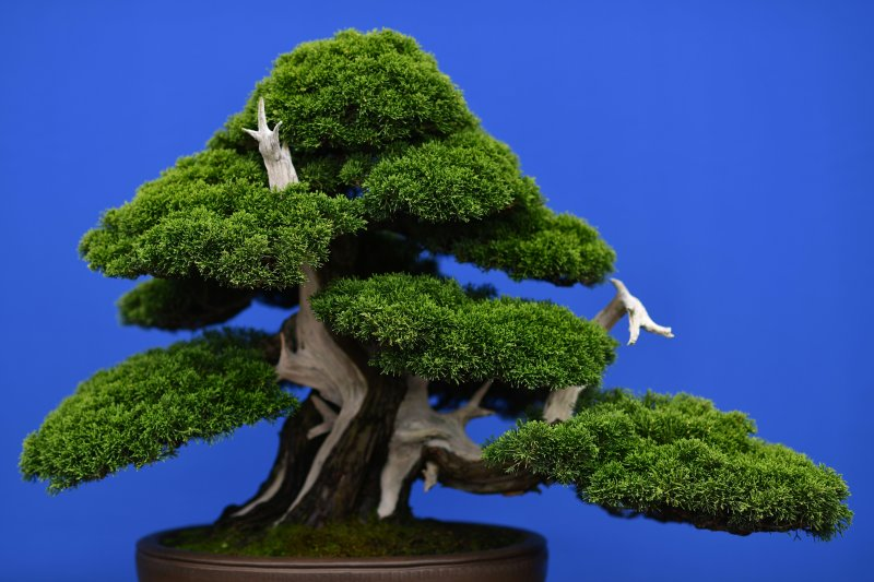 O que torna a arte do bonsai tão cara?