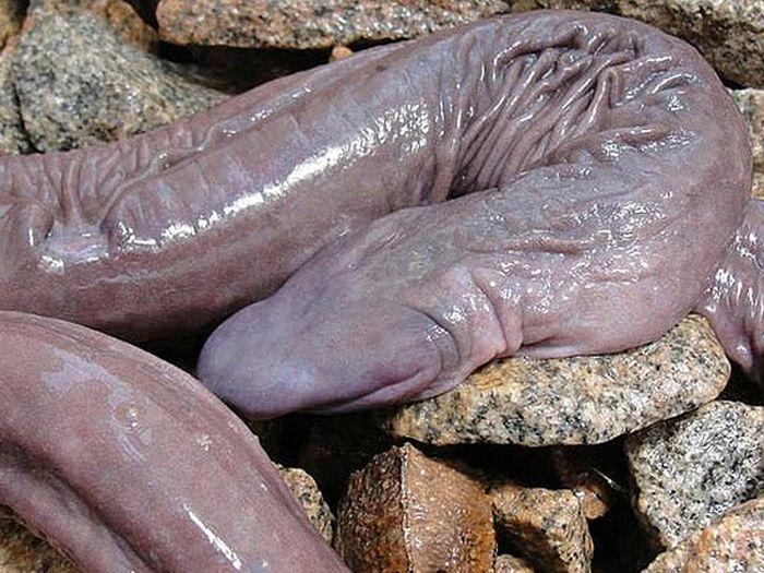 Cobra-pênis descoberta em Rondônia na verdade é um anfíbio