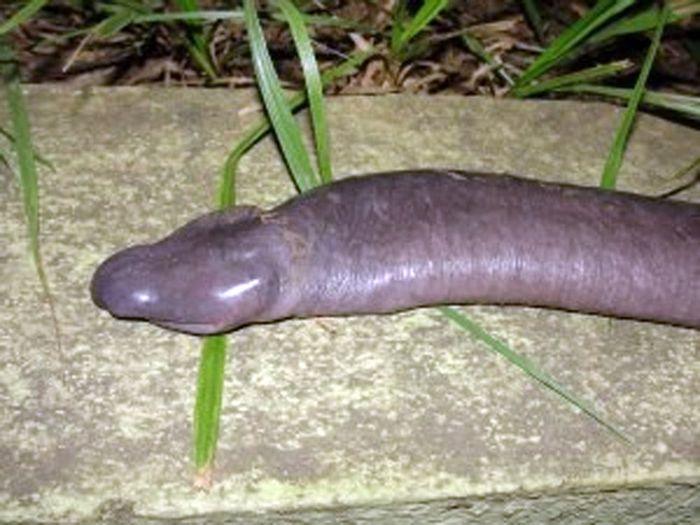 Cobra-p�nis descoberta em Rond�nia na verdade � um anf�bio