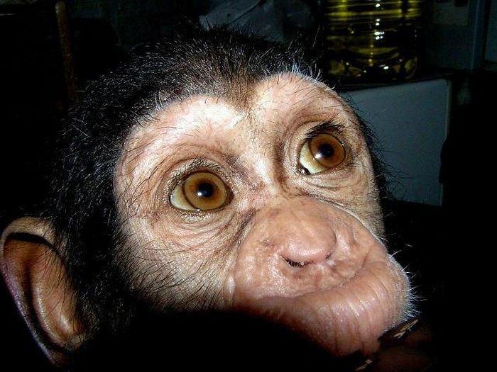 Cadela adota filhote de chimpanzé 01