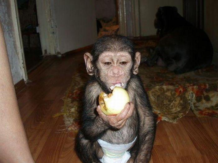 Cadela adota filhote de chimpanzé 02