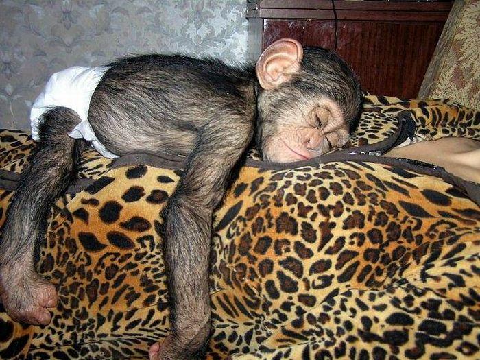 Cadela adota filhote de chimpanzé 03