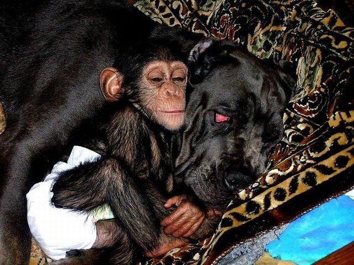 Cadela adota filhote de chimpanzé 04