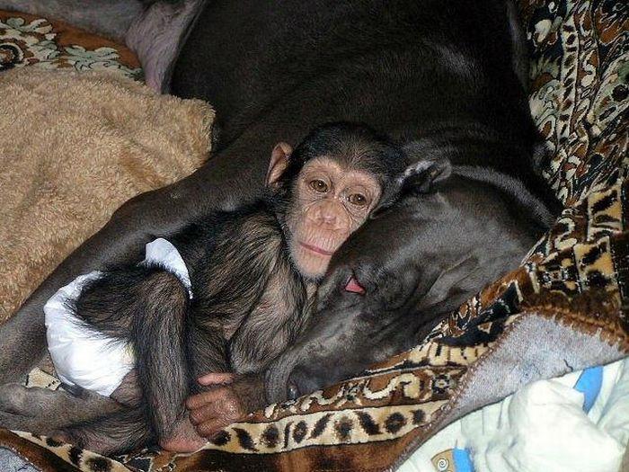 Cadela adota filhote de chimpanzé 05