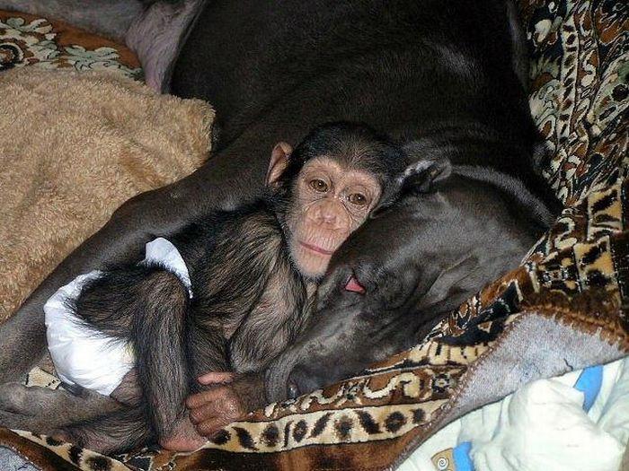 Cadela adota filhote de chimpanzé 07