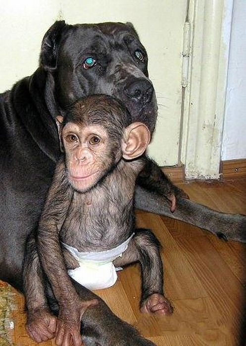 Cadela adota filhote de chimpanzé 08