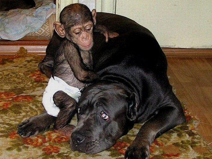 Cadela adota filhote de chimpanzé 09