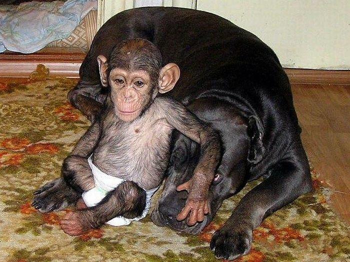 Cadela adota filhote de chimpanzé 10