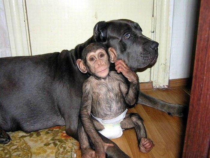 Cadela adota filhote de chimpanzé 11