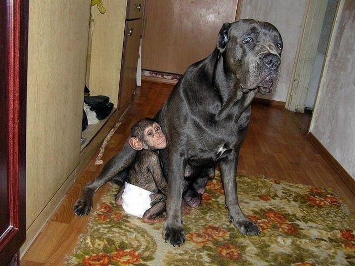 Cadela adota filhote de chimpanzé 12