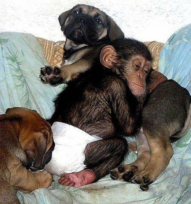 Cadela adota filhote de chimpanzé 13