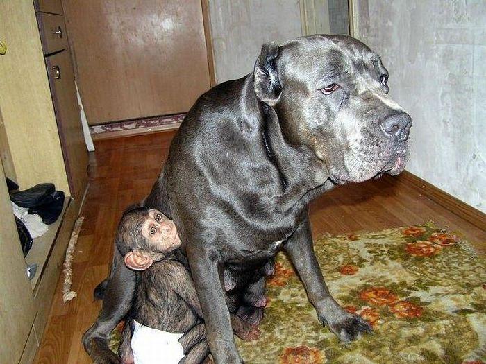 Cadela adota filhote de chimpanzé 14