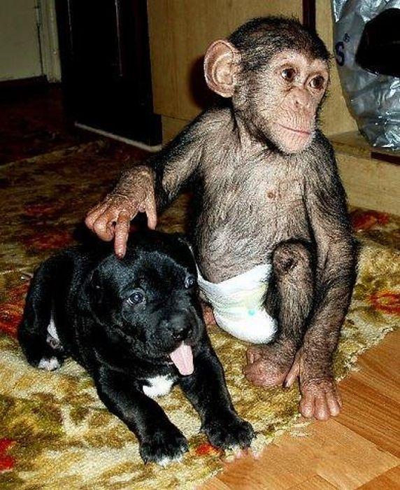 Cadela adota filhote de chimpanzé 15