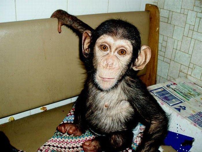 Cadela adota filhote de chimpanzé 17