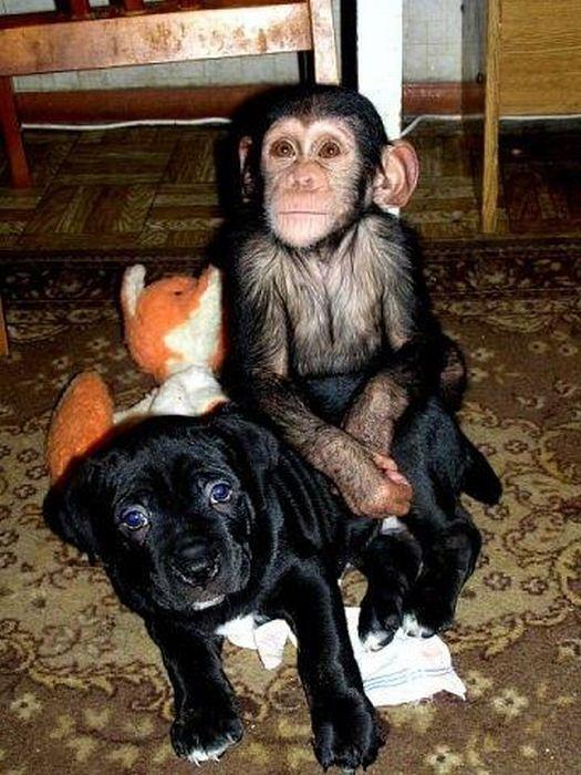 Cadela adota filhote de chimpanzé 18