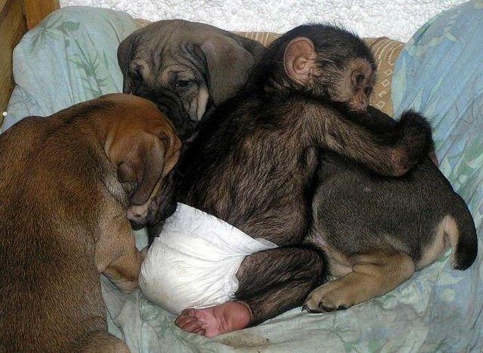 Cadela adota filhote de chimpanzé 21