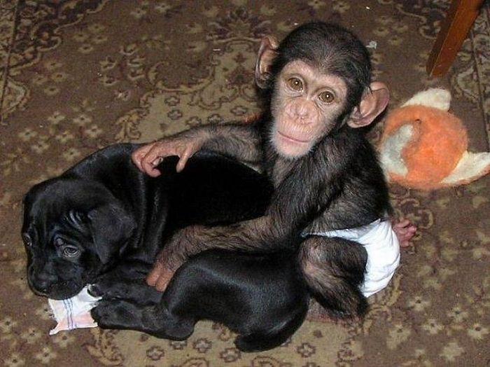 Cadela adota filhote de chimpanzé 22