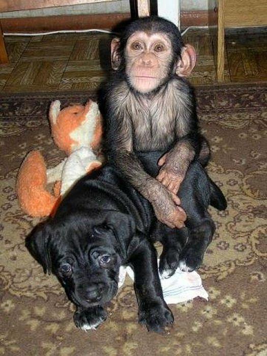 Cadela adota filhote de chimpanzé 23