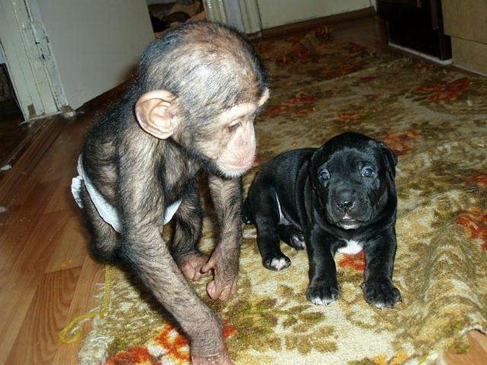 Cadela adota filhote de chimpanzé 25