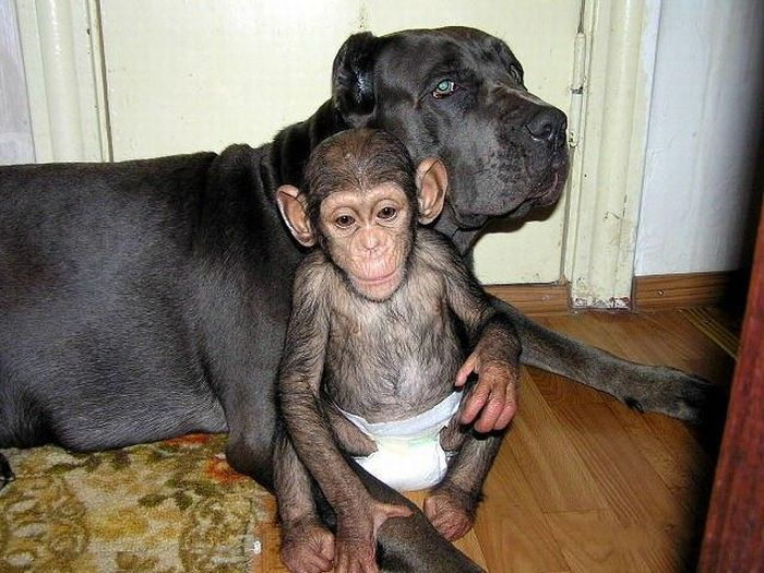 Cadela adota filhote de chimpanzé 26