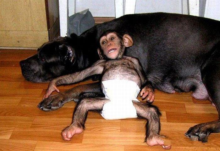 Cadela adota filhote de chimpanzé 27
