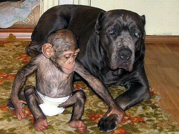 Cadela adota filhote de chimpanzé 28