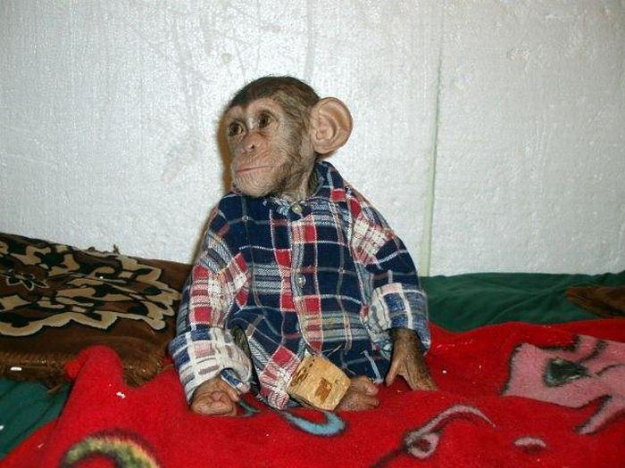 Cadela adota filhote de chimpanzé 29