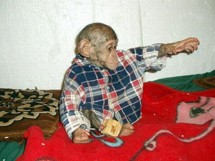 Cadela adota filhote de chimpanzé 30