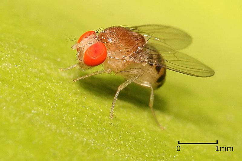 Singularidades extraordinárias de animais ordinários: a mosca