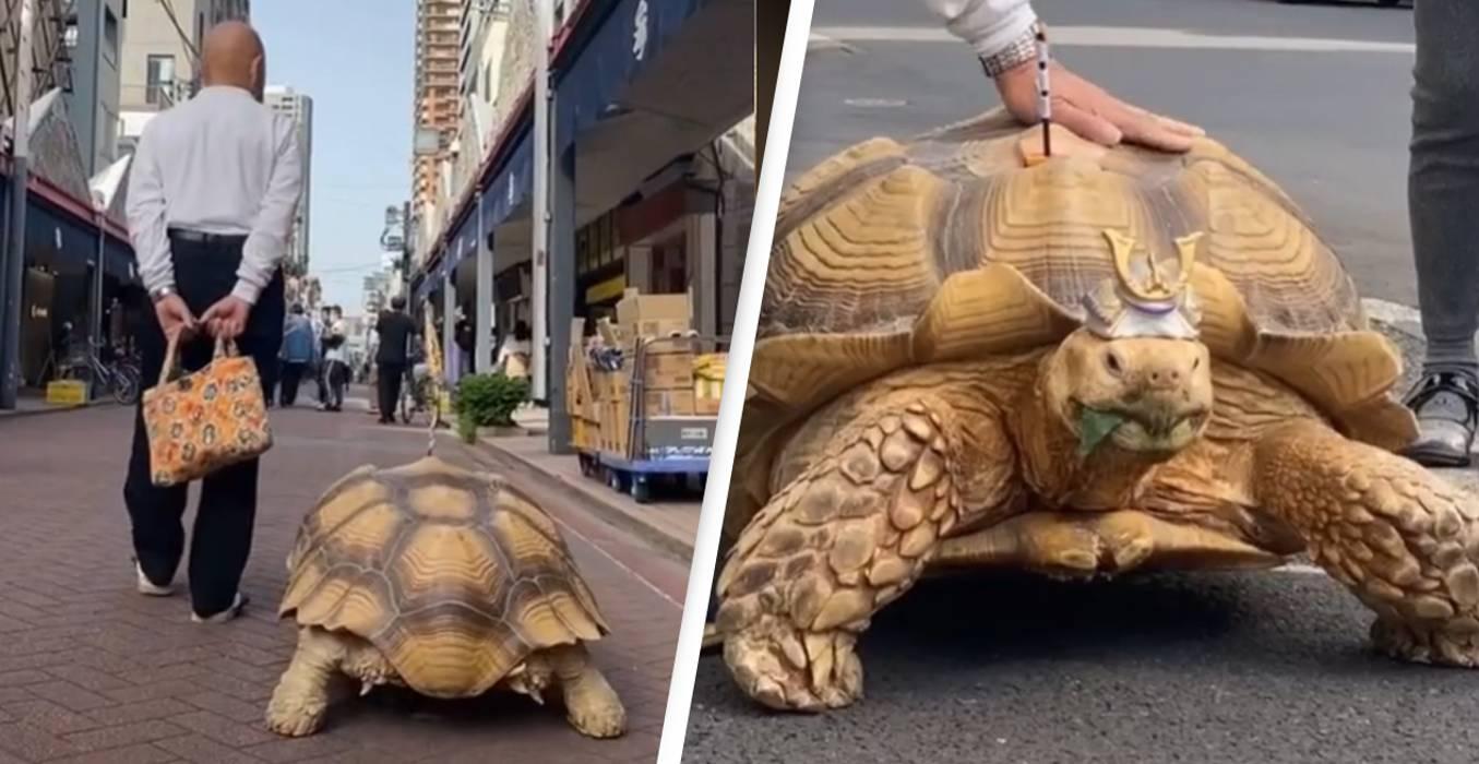 Senhorzinho japonês continua levando sua tartaruga para passear todos os dias