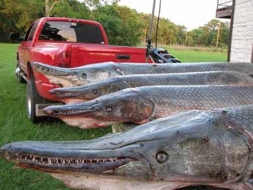 Lepisosteus, metade peixe, metade jacaré 07