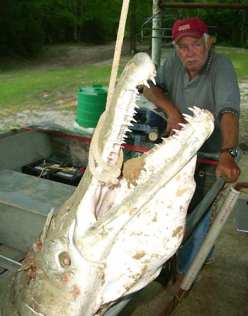 Lepisosteus, metade peixe, metade jacaré 08