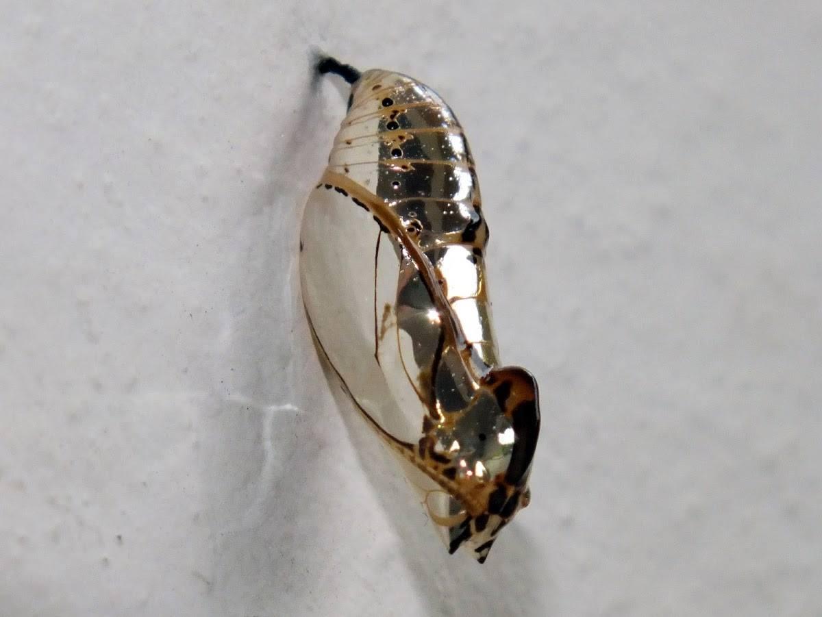 Joias vivas: os casulos brilhantes desta borboleta exótica parecem joias de ouro