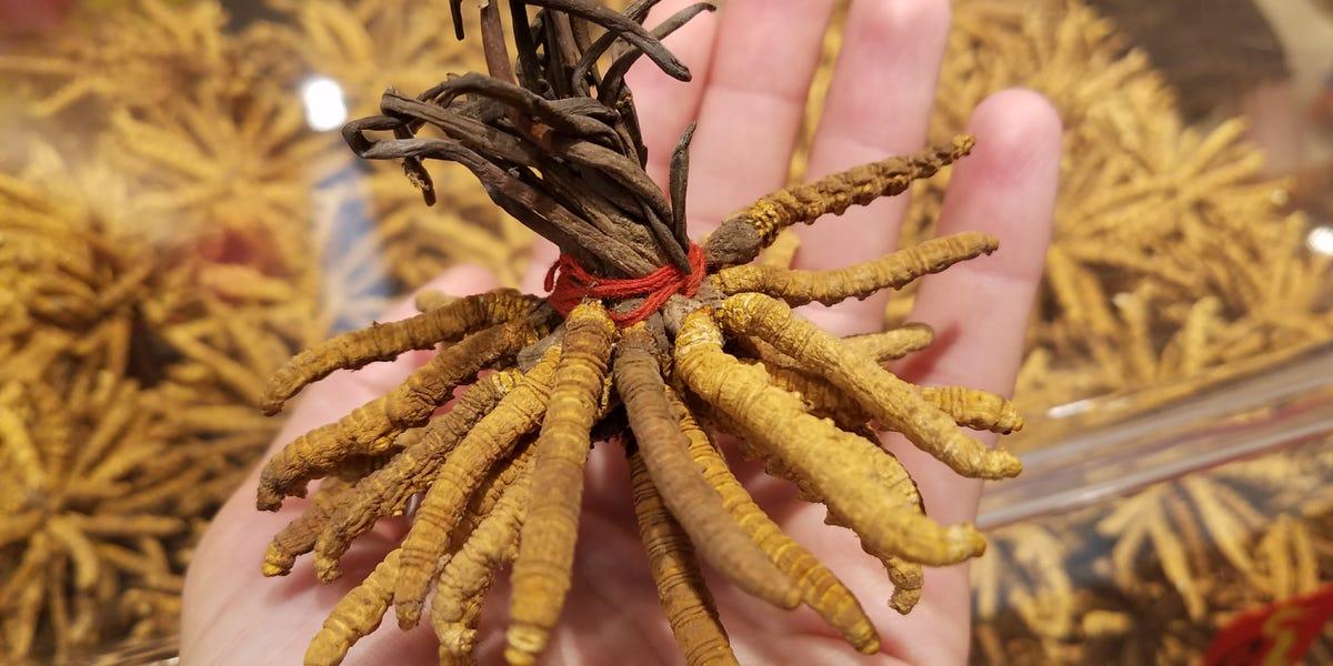 Yartsa gunbu, o parasita mais caro do mundo vale três vezes o seu peso em ouro