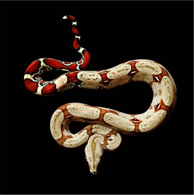 Serpentine, uma série peçonhenta 05