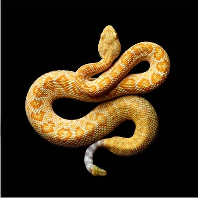 Serpentine, uma série peçonhenta 13