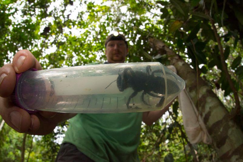 Pesquisadores reencontram a maior abelha do mundo, considerada extinta, e é enorme