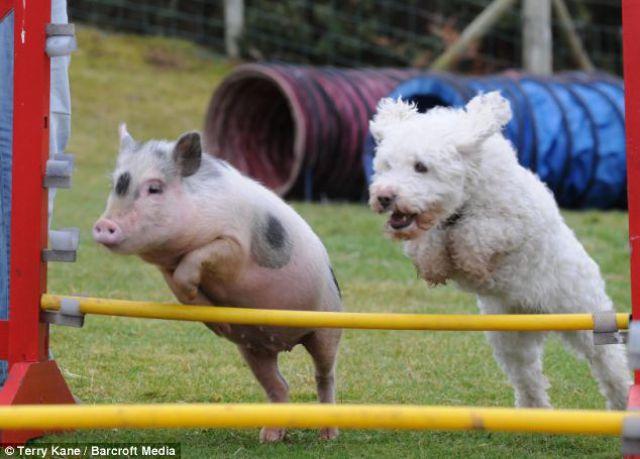 Um porquinho muito canino 01