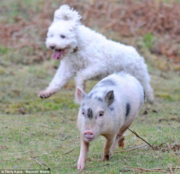 Um porquinho muito canino 05