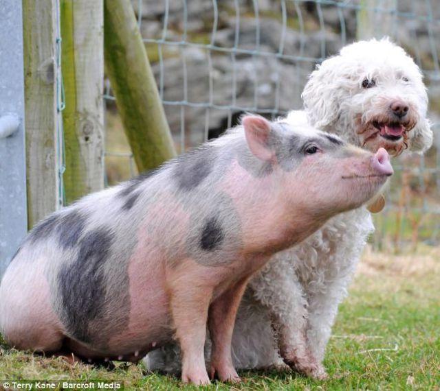 Um porquinho muito canino 06