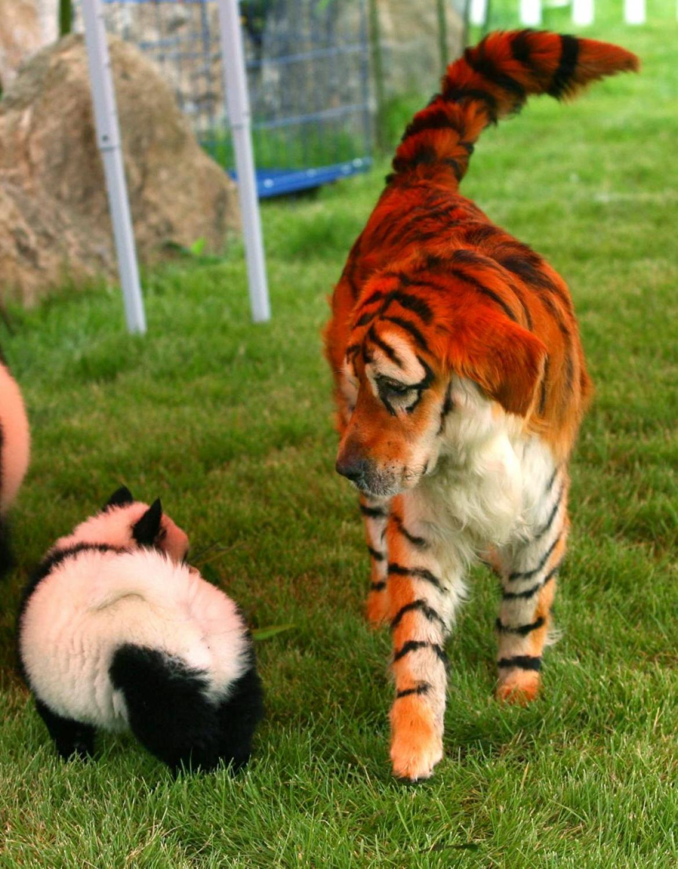 Animais de estima��o tingidos para se parecerem com animais selvagens 06