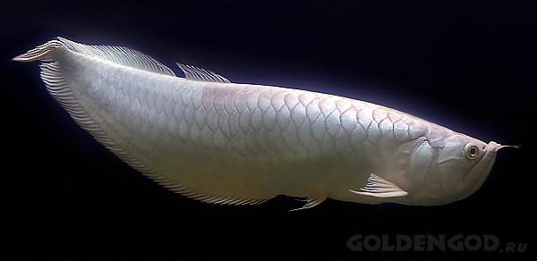 O peixe mais caro do mundo 05