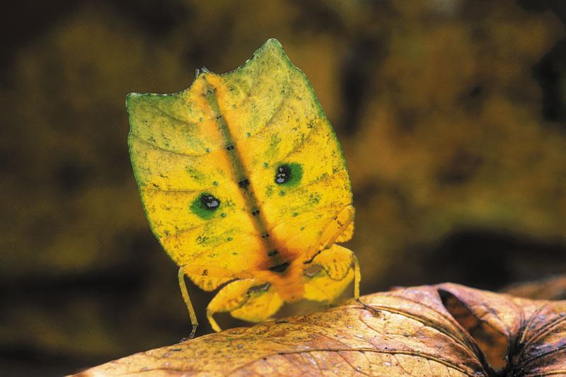 Singularidades extraordinárias de animais extraordinários: o bicho-folha 06