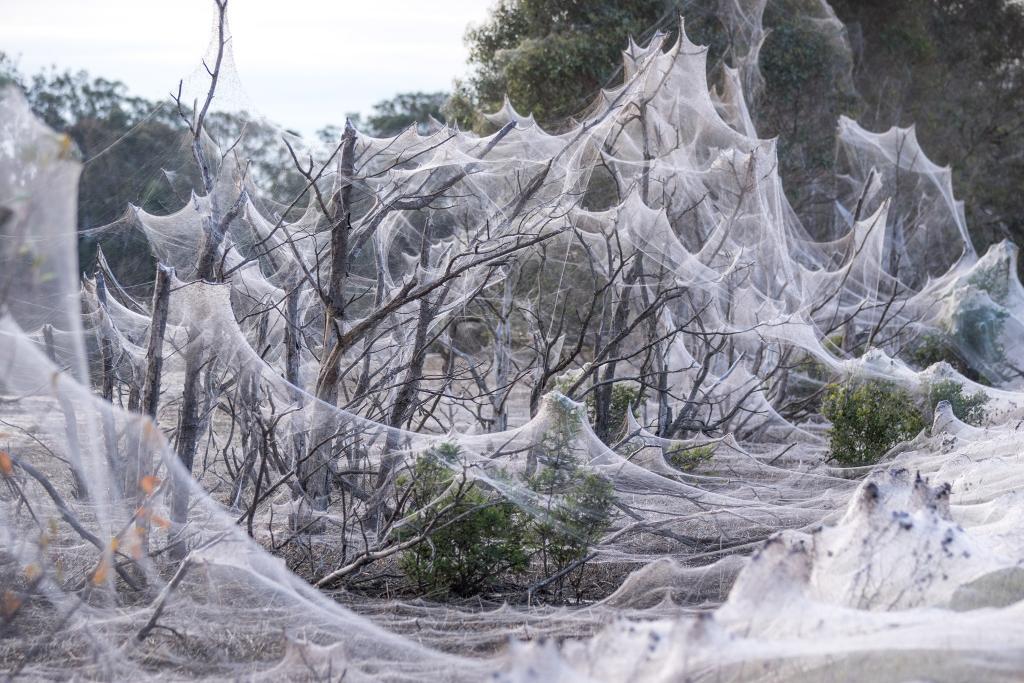Por que várias regiões da Austrália amanheceram cobertas de teias de aranha?