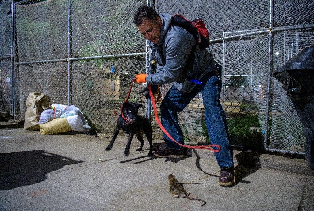 Os nova-iorquinos voluntários que caçam ratos à noite com seus cães