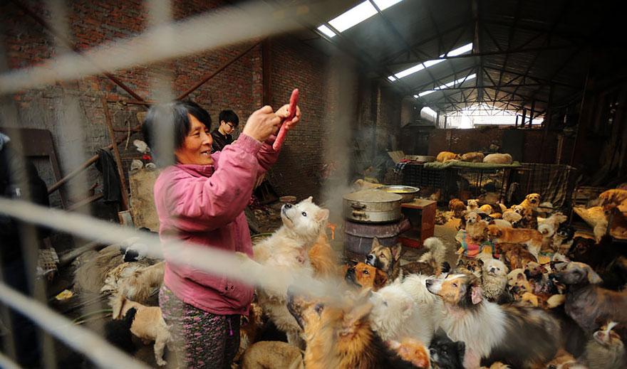 Chinesa viajou 2.400 kms e pagou quase 4 mil reais para salvar 100 cães que iam ser comidos 15