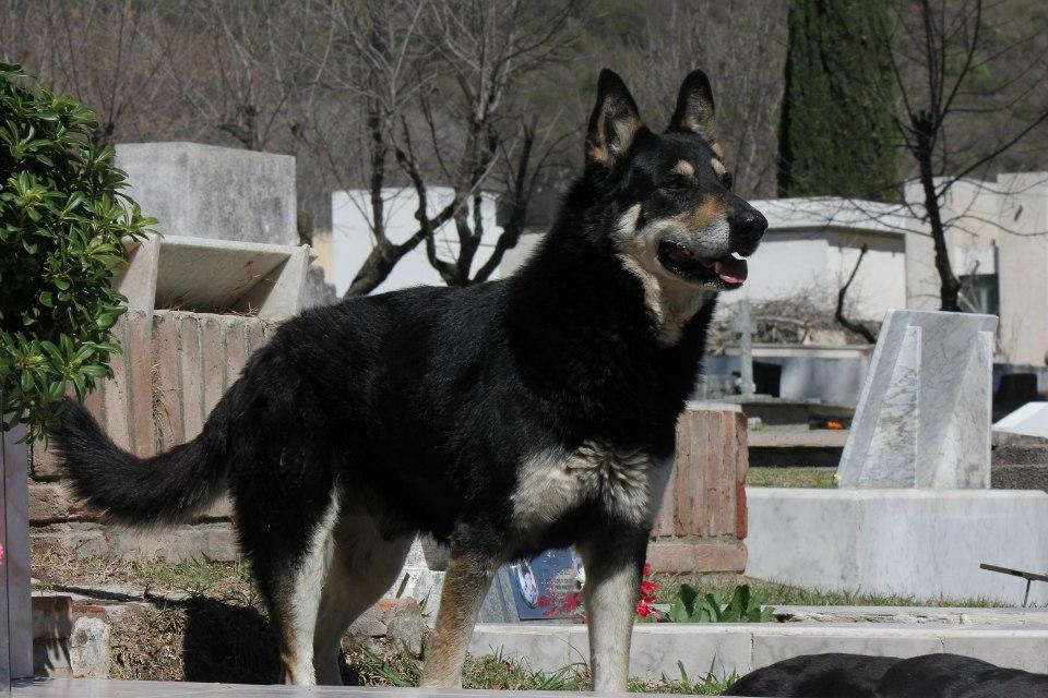 Cão permanece ao lado da sepultura do dono há seis anos 11