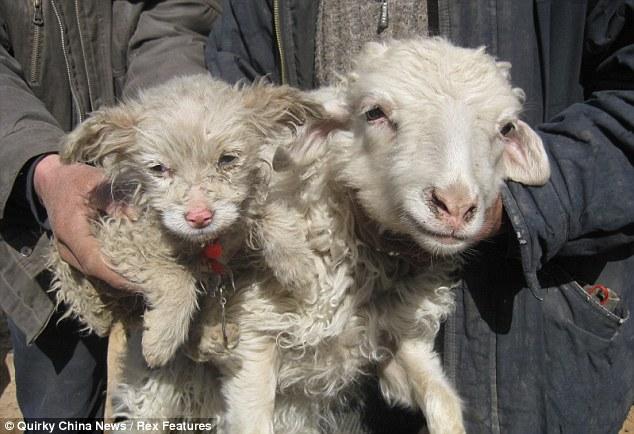 Um cãozinho, filhote de ovelha 01