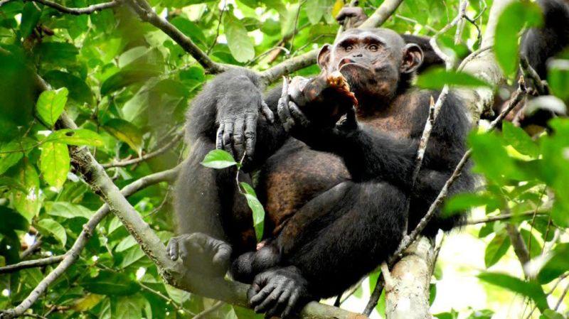 O registro inédito de chimpanzés comendo tartarugas depois de batê-las contra árvores para destruir suas carapaças