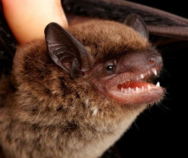 Diversidade de morcegos 06